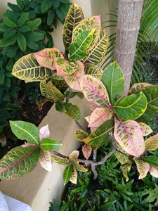 Pink and green variegated croton