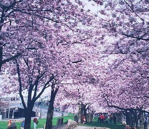 Cherry Blossom Trees - Portland, OR