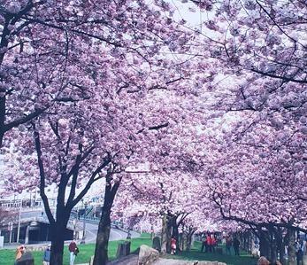 Cherry Blossom Trees - Portland, OR - ArtByDonKats