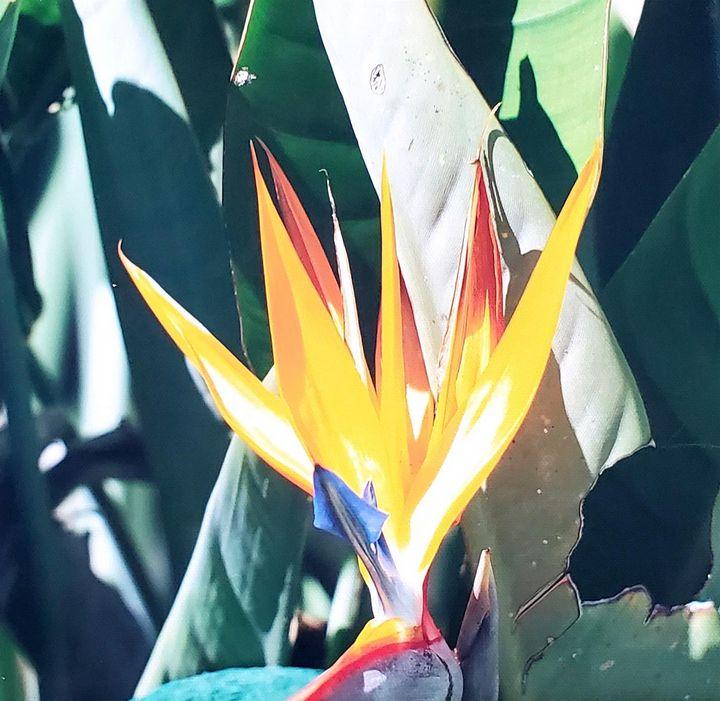 Bird of Paradise Flower - ArtByDonKats