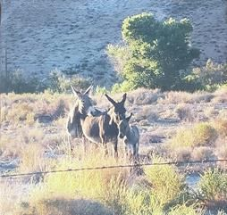 Wild Burros of Red Rock - Las Vegas - ArtByDonKats