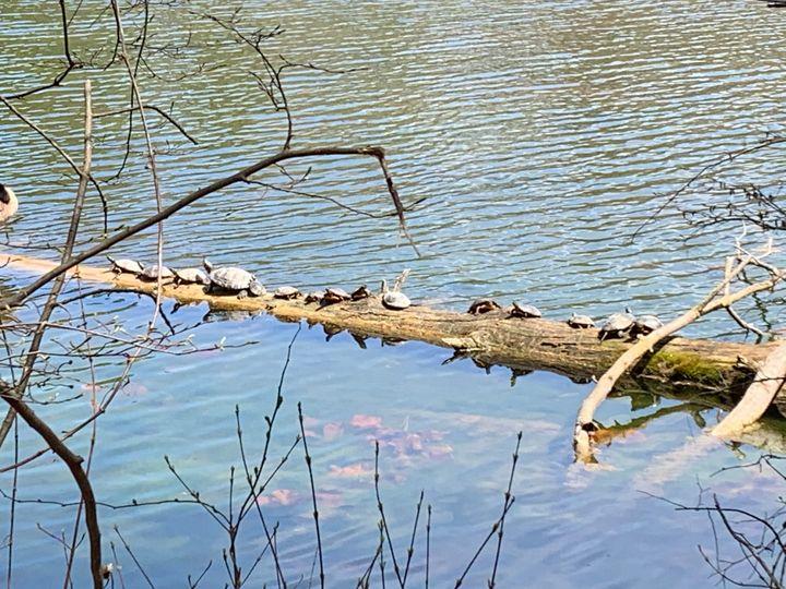 Turtle Log - Hannah