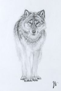 Curious Wolf