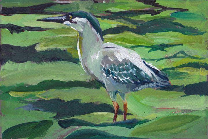 Striped Heron - Romeroleo