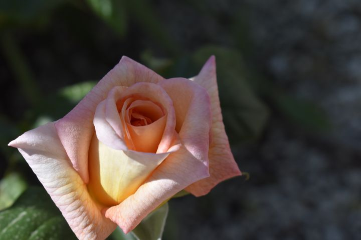 Rose Bud in shade - peach - PuzbieArts