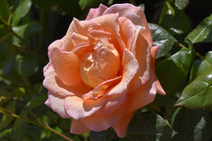 Apricot Rose in Full Bloom - PuzbieArts