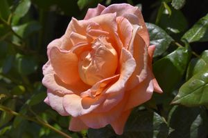 Apricot Rose in Full Bloom