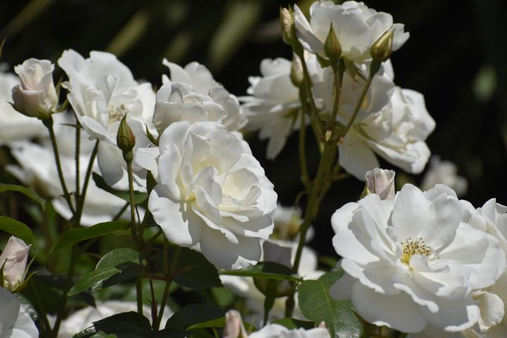 White Roses Blooming in the Sunshine - PuzbieArts