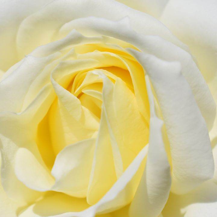 Centre of Yellow Rose - PuzbieArts