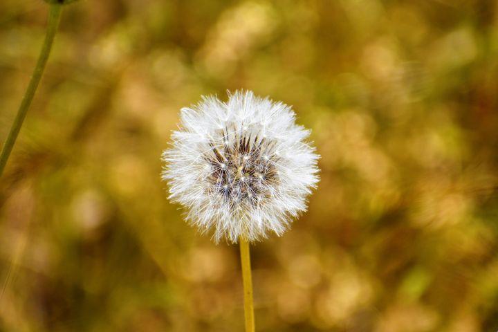 Dandelion Seed Head - Fairies! 1 - PuzbieArts