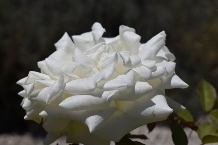 White Rose on dark background - PuzbieArts