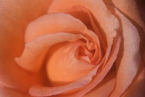 Peach Rose and Dew