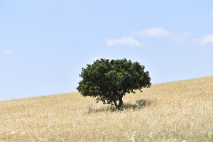 Single Tree in Wheat Field