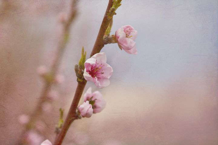 Cherry Blossoms - MM photography