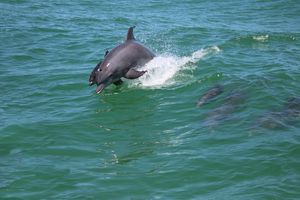 Dolphin at Play - HeartNotes