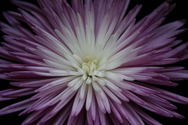purple starburst flower dm photography photography flowers
