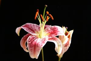 FRESH LILY FLOWER