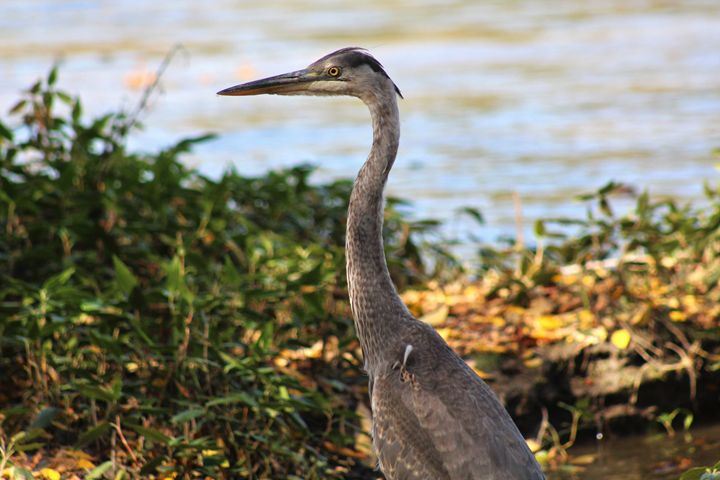 Close Encounter with a Heron - Colleen Mitchell Photography