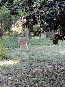 Cautious Mama deer