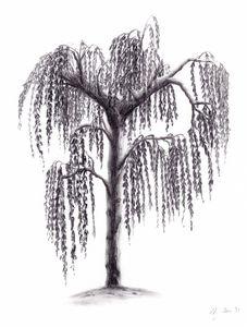 Weeping white birch
