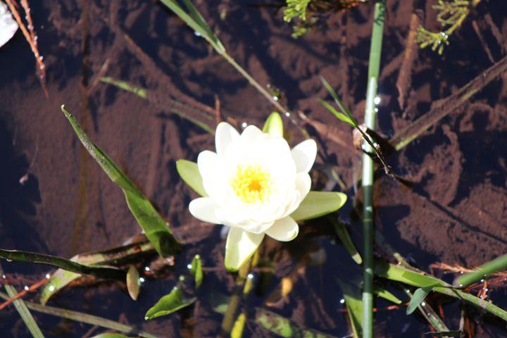 Water Lily - Jodi Vetter