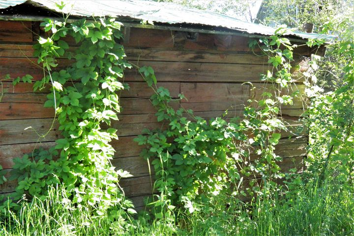 Ivy Covered Barn - tvparnell