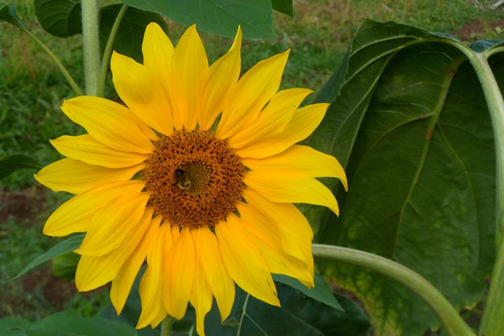 Sunflower being Pollinated - tvparnell