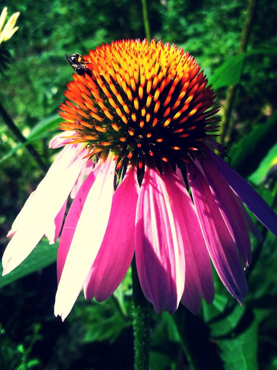 purple coneflower - Norma-Jeans Gallery
