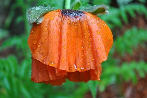 poppies in the rain
