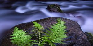 Ferns and A Forest Brook