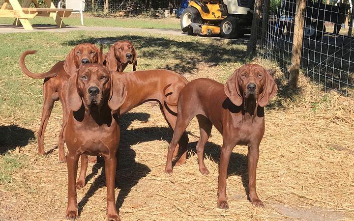 Redbone Coonhounds - RedBone Country Creations