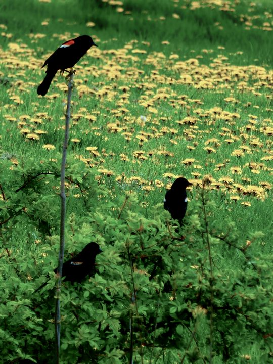 Pastoral Red Winged Blackbirds - Leslie Montgomery