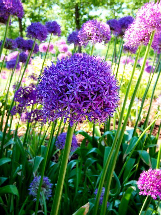 Allium Everywhere - Leslie Montgomery