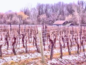 Winter Vineyards - Niagara Region - Leslie Montgomery