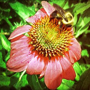 Echinacea And Bee - Grunge - Leslie Montgomery