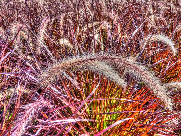 Purple Fountain Grass - Leslie Montgomery