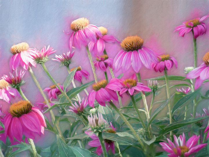 Brilliant Wild Berry Cone Flower - Leslie Montgomery