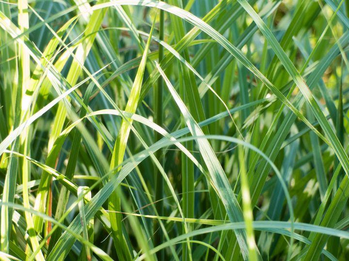 Tangled - Zebra Grass - Leslie Montgomery