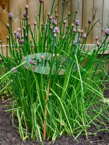 Garden Chives First Blooms - Leslie Montgomery