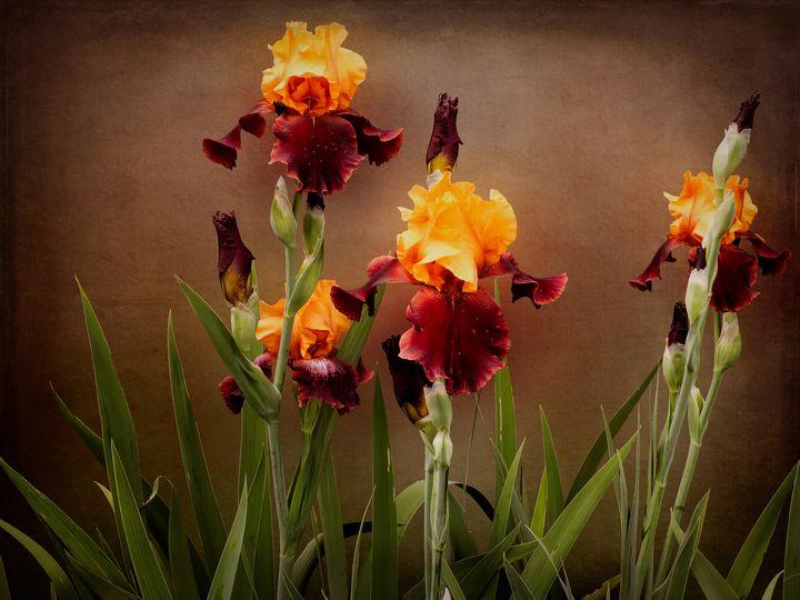 Two Toned Bearded Iris - Leslie Montgomery