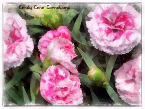 Candy Cane Carnations - Leslie Montgomery