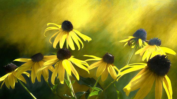 Sunshine On Black Eyed Susan - Leslie Montgomery