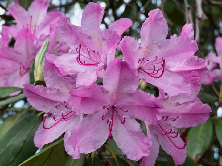 Pink Rhodies - Leslie Montgomery