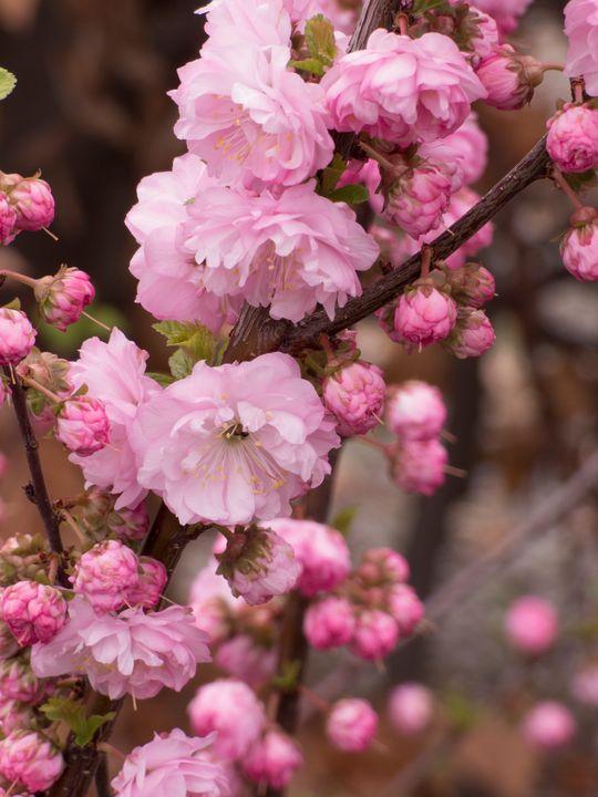 Springalicious blossoms - Leslie Montgomery