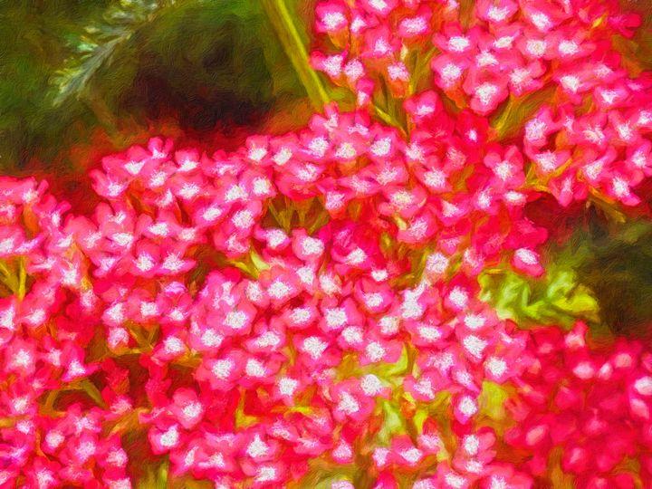 Brilliant Red Mountain Yarrow - Leslie Montgomery