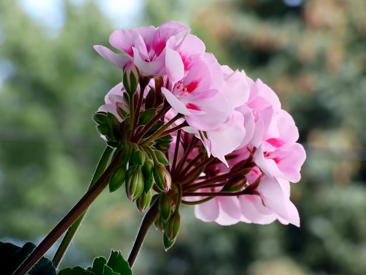 Pink Geranium - Leslie Montgomery