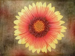 Single Indian Blanket Flower