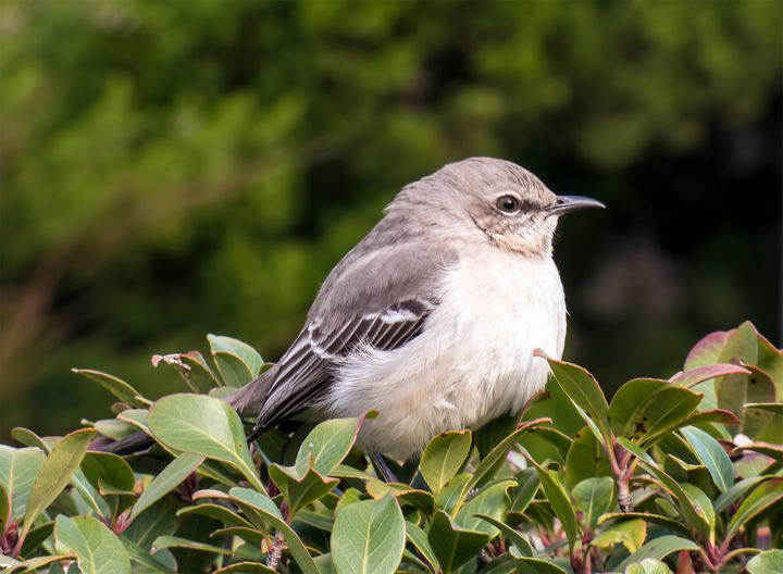 Mockingbird - Leslie Montgomery