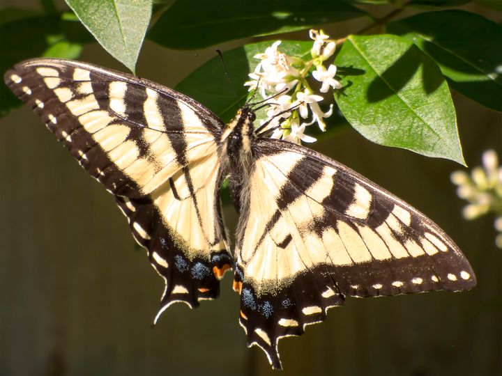 Eastern Tiger Swallowtail  Butterfly - Leslie Montgomery