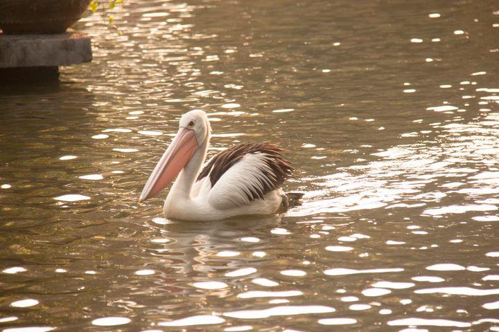 Pelican Paddling Through Water 1 - Trihand Art